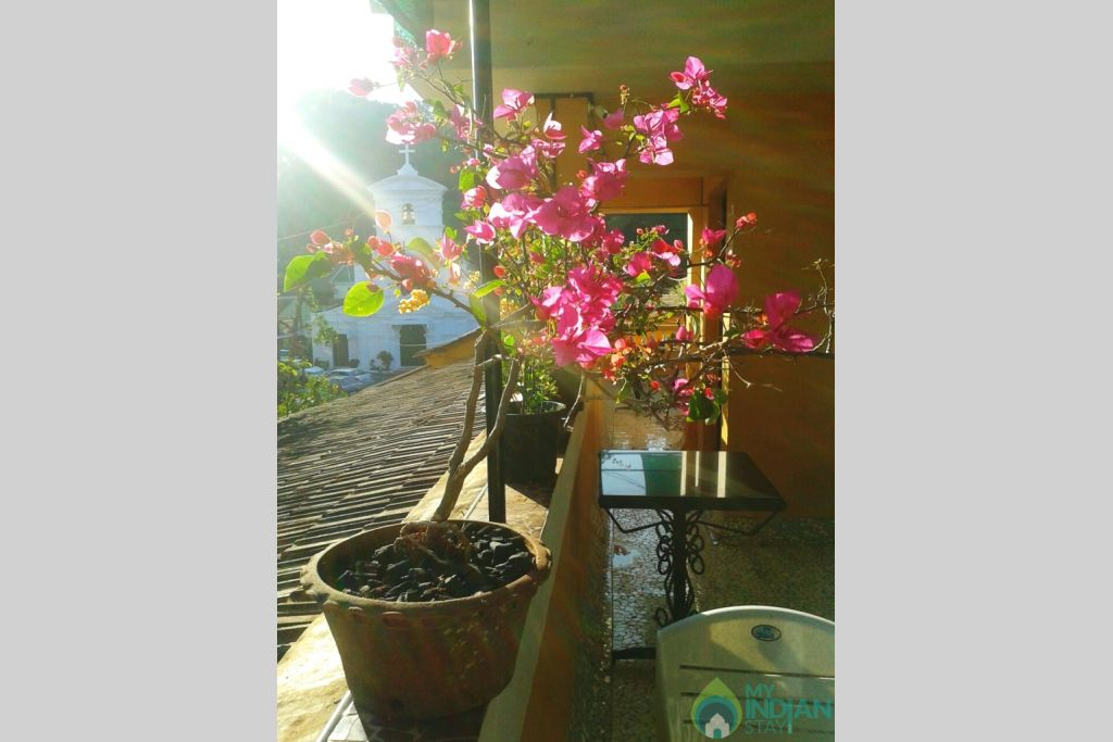 Bougainville in a Guest House in Panjim, Goa